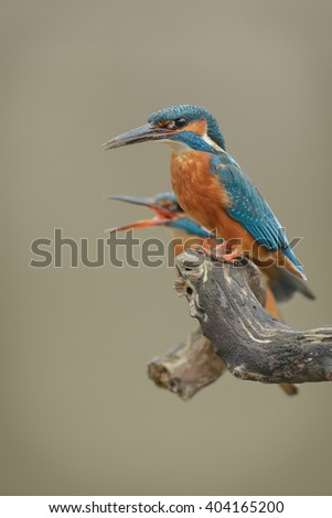 Mrs Kingfisher calls for her mate - stock photo
