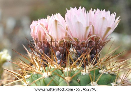 Much pink flowers cactus closeup stock photo royalty free much pink flowers cactus closeup mightylinksfo