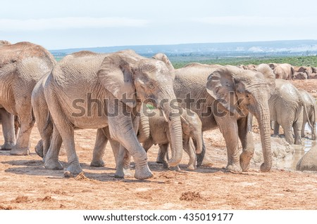 Mud covered african elephants, Loxodonta africana, walking