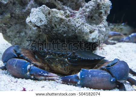 mud crab (Scylla serrata) in aquarium