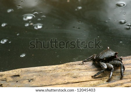 Mud Crab - Urauchi River, Iriomote Island, Okinawa, Japan - stock photo