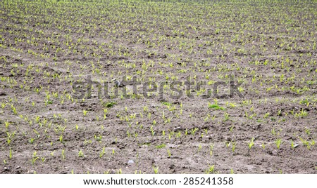 Muddy field with new maize seedlings - stock photo