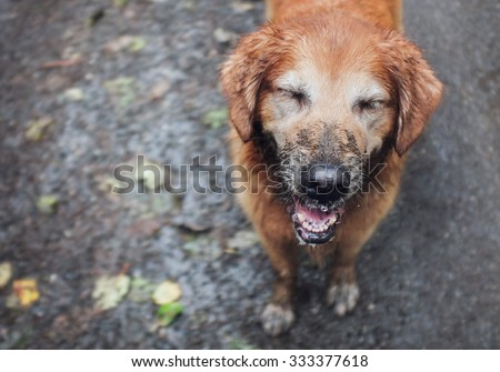 muddy golden retriever in the ran