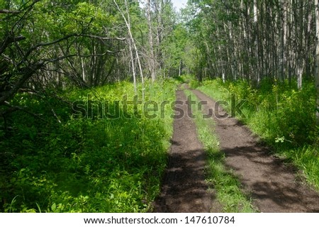 Muddy road through an aspen forest in summer,  Mud puddles and tire  tracks on the road