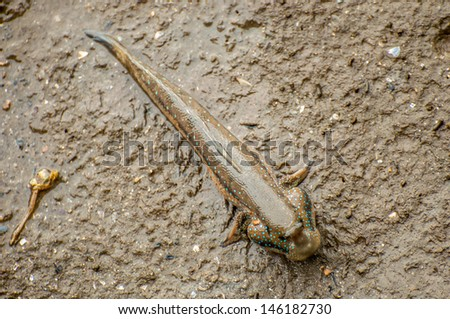 mudskipper - stock photo