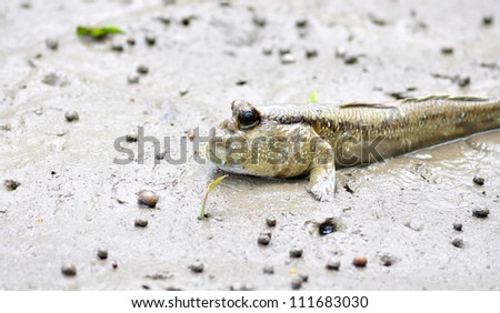 mudskipper,fish - stock photo