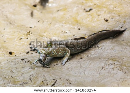 Mudskipper fish eating a crab - stock photo