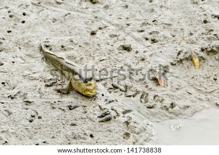 Mudskipper fish  waiting for food. - stock photo