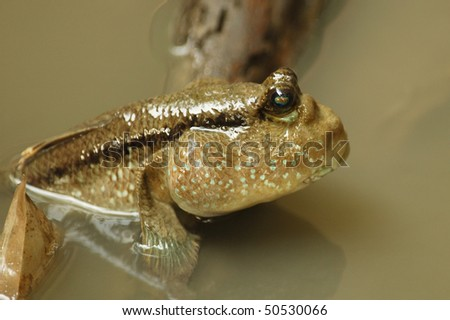 Mudskipper in a Mangrove Swamp on the outskirts of Bangkok - stock photo