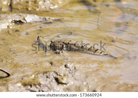 Mudskipper or Amphibious fish  - stock photo
