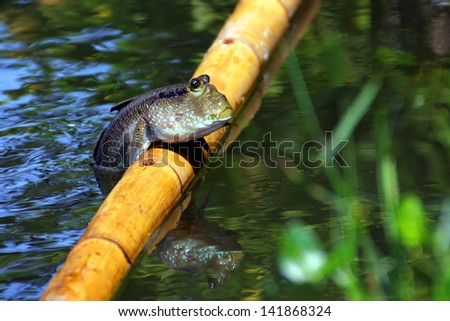 Mudskipper resting on the bamboo - stock photo