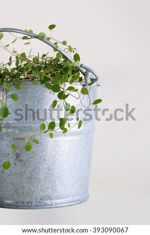 Muehlenbeckia plant in a big zinc bucket.