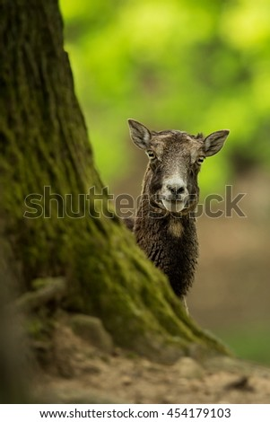 Muflon is the only representative of the genus of wild sheep in the European and Czech nature.