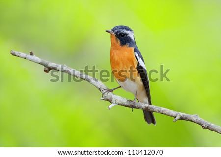 Mugimaki Flycatcher (Ficedula mugimaki) - stock photo