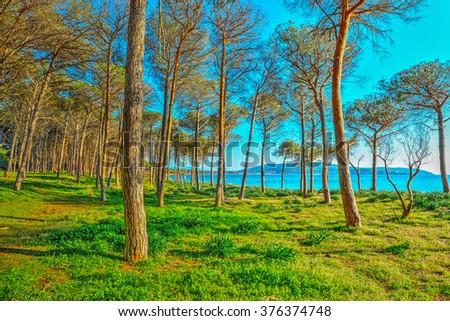 Mugoni pine wood by the sea, Sardinia - stock photo