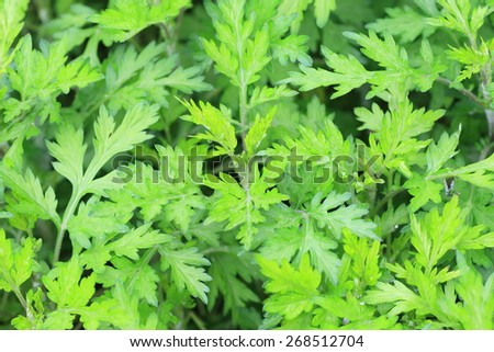 mugwort (Artemisia indica) in Japan - stock photo
