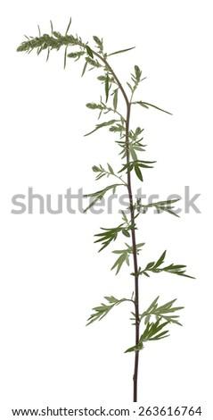 Mugwort, Artemisia vulgaris isolated on white background  - stock photo
