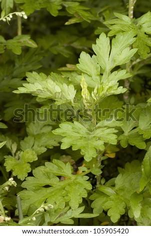Mugwort - Artemisia vulgaris. Unsharpened file - stock photo