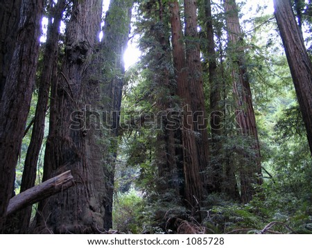 Muir Woods - stock photo