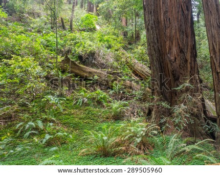 Muir Woods National Monument is an old-growth coastal redwood forest. - stock photo