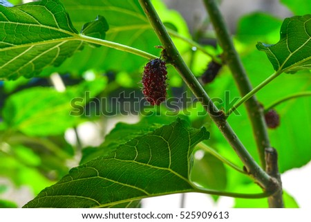 Mulberries on the branch on tree