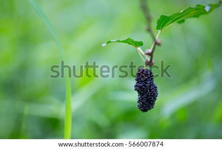 Mulberry also known as a mulberry fruit native of Thailand ultimate source of vitamin C, a good friend's health. Trends in healthy eating.