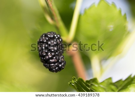 mulberry berries on the tree - stock photo