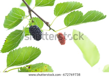 Mulberry Fruit