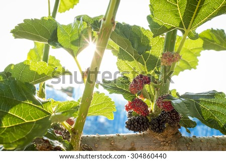 Mulberry fruit in bush branch and leaf close up under sparkling sunshine in background - stock photo