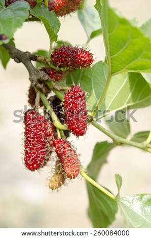 Mulberry fruits in nature backgrounds. - stock photo