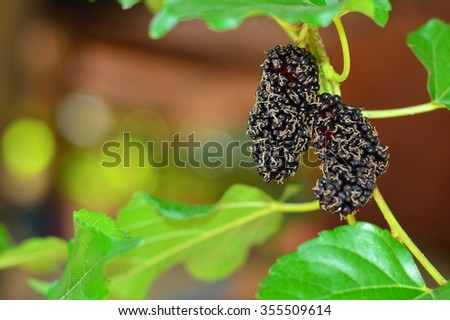 Mulberry fruits to Thailand. Selective fogus mulberry.
