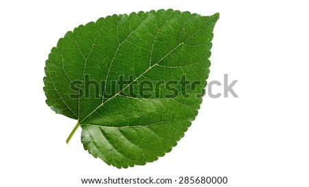 Mulberry leaf on white background. - stock photo