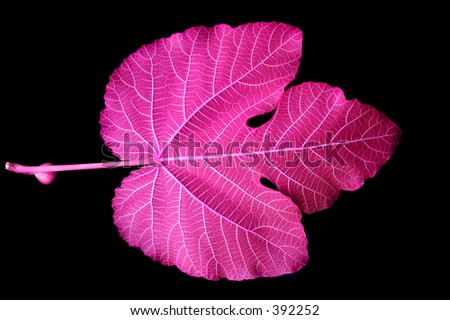 Mulberry Leaf - pink