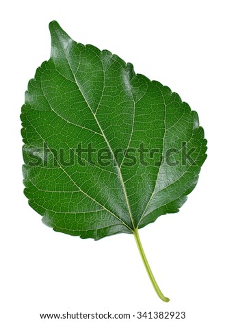 Mulberry leaves isolated on white background.