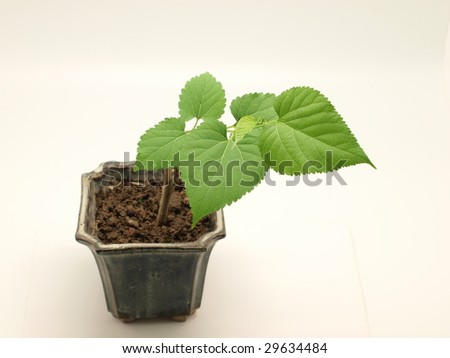 Mulberry tree in pot isolated on white background. - stock photo