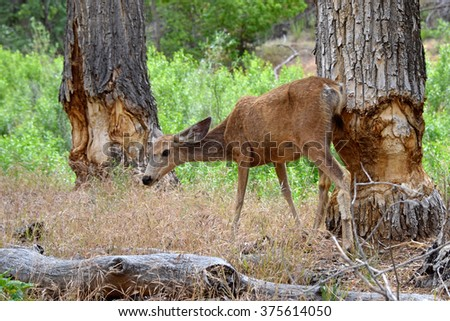 Mule deer and tree trunks gnawed by beaver, Zion National Park, Utah, USA - stock photo