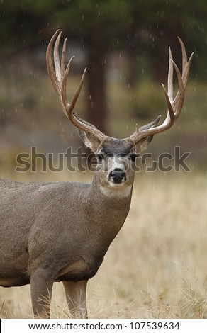 Mule Deer Buck, close-up portrait showing complete bust and brisket - stock photo