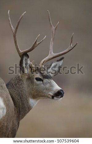 Mule Deer Buck Close-up Portrait with brown background - stock photo
