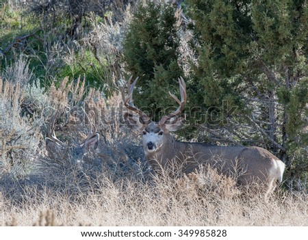 Mule deer buck hidden in trees; there is another mule deer buck lying down to the left, camouflaged. - stock photo