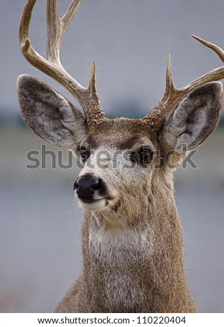 Mule Deer Buck in Gardiner, Montana, near Yellowstone National Park.  suburban wildlife hunting town urban portrait closeup