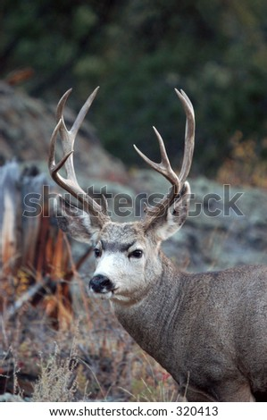 Mule deer buck in Rocky Mountain National Park