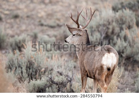 Mule deer buck looking out over valley - stock photo