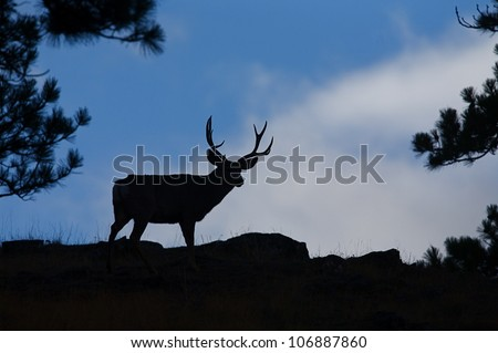 Mule Deer Buck on skyline surrounded by pine trees, silhouette - stock photo
