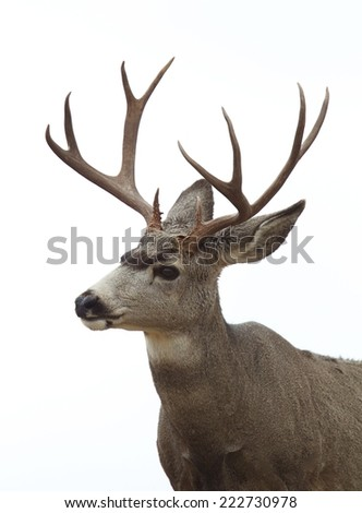 Mule Deer Buck stag, isolated on white sky background Deer hunting season in the western states of Idaho, Colorado, Utah, Nevada, Montana, Washington, Oregon  Odocoileus hemionus - stock photo