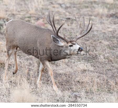 Mule deer buck stalking a female during rut - stock photo