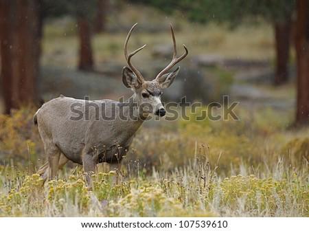 Mule Deer Buck walking thru autumn habitat - stock photo