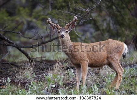 Mule Deer Buck with summer coat and new velvet-clad antlers - stock photo