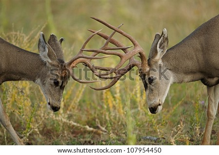 Mule Deer Bucks sparring - stock photo
