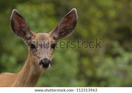 Mule Deer Doe, highly detailed portrait against a nicely blurred deciduous forest background in the Cascade Mountains of Washington