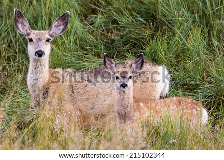 Mule deer doe with a spotted fawn - stock photo